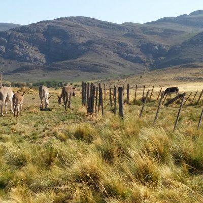 manada de mulas frente a la cabaña Ayutun Hue