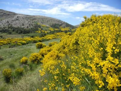 En el mes de diciembre florecen las retamas en la Comarca Turística de Sierra de la Ventana
