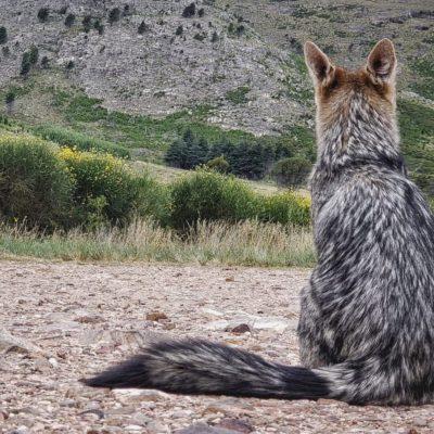 zorro observando el cerro en busca de su alimento