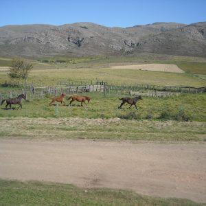 Tropilla al galope desde cabaña Ayutun Hue. Las mulas a veces y más frecuentemente los caballos suelen deleitarnos
