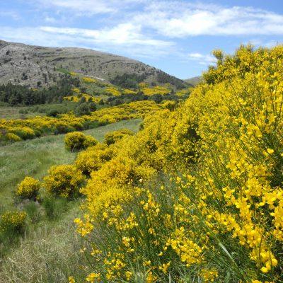 En el mes de diciembre florecen las retamas en la Comarca Turística de Sierra de la Ventana. Recórrala y disfrute su perfume.