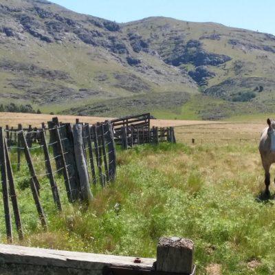 Cuando es hora de regresar al corral ya sean los caballos o el ganado vacuno comienza su caminata